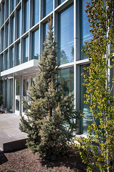 columnar blue spruce at NAIT campus in edmonton