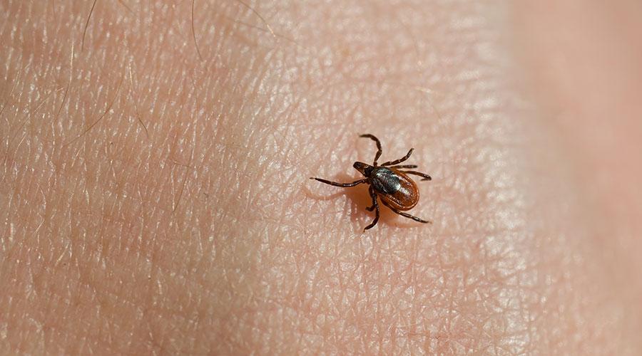 deer tick, blacklegged tick