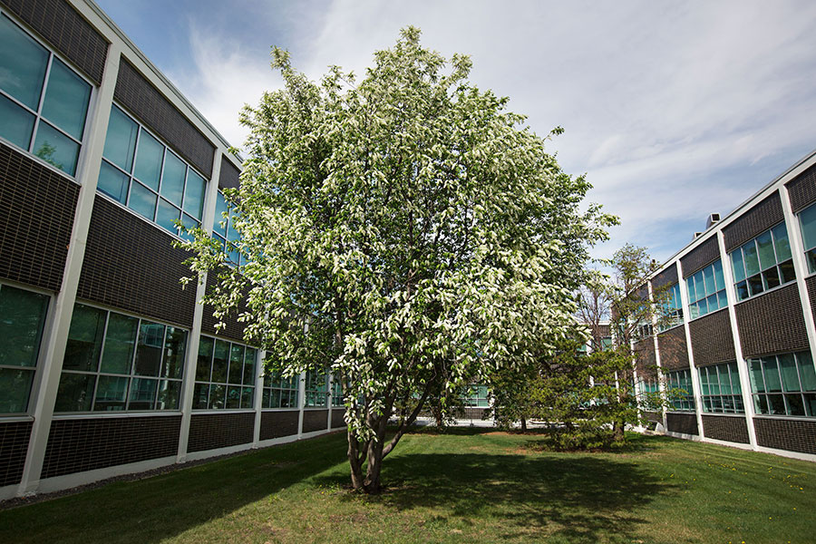mayday tree at NAIT campus in edmonton