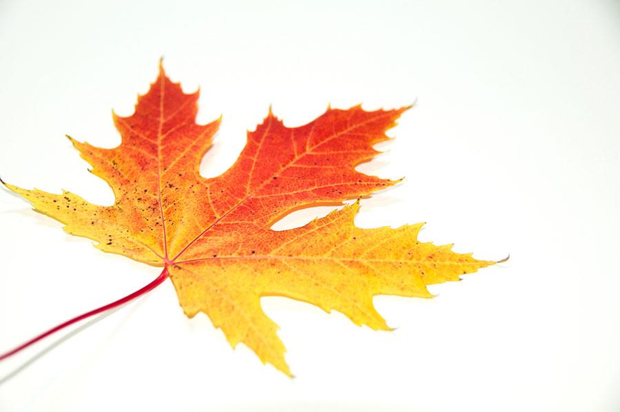 sugar maple leaf canada